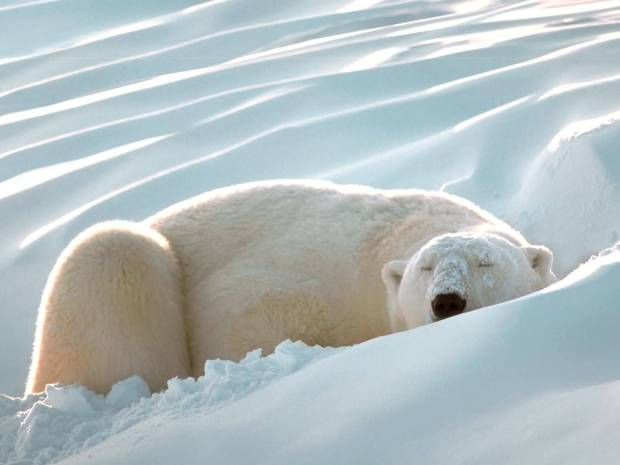 Sleeping_Beauty_Polar_Bear-1600x1200